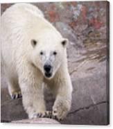 Polar Bear Prowl  Canvas Print
