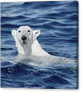 Polar Bear Swimming Baffin Island Canada Canvas Print