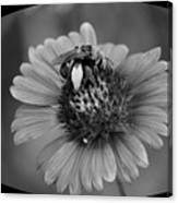 Pollen Collector Bw Canvas Print