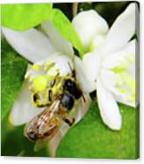 Pollen - Covered - Bee Canvas Print
