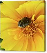 Pollen Feeding Beetle Canvas Print