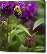 Pollinating Bumble Bee Canvas Print