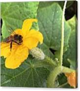 Pollinating Cucumbers 2  Canvas Print