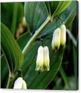 Polygonatum Odoratum Canvas Print