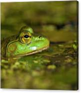 Pond Frog 3 Canvas Print
