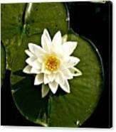 Pond Lily Canvas Print