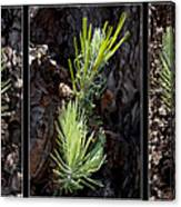 Ponderosa Pine Wide Canvas Print