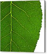 Poplar Leaf A Key To Biofuels Canvas Print