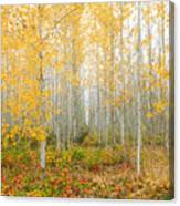 Poplar Tree Grove In Fall Canvas Print