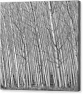 Poplars Beauty Trees Canvas Print