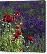 Poppies In Lavender Canvas Print