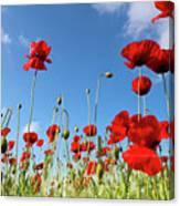 Poppies Season Canvas Print
