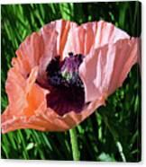 Poppy Beautiful Canvas Print