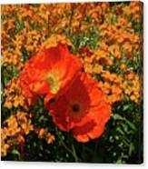 Poppy Glories Canvas Print