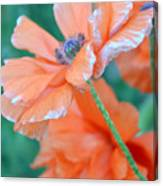 Poppy Passion Canvas Print