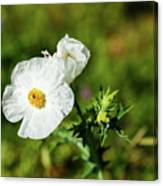 Poppy Wildflower Canvas Print