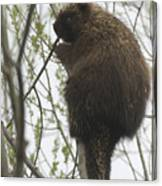 Porcupine In A Tree Canvas Print