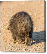 Porcupine Walking Canvas Print