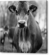Portrait Of A Dairy Cow In The Rain Stowe Vermont Canvas Print