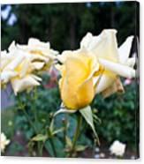 Portland Roses #3 Canvas Print