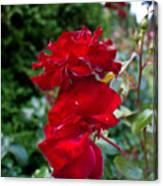 Portland Roses #6 Canvas Print