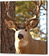 Portrait Of A 15-point Buck Canvas Print