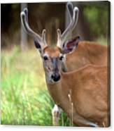 Portrait Of A Beautiful Buck  Canvas Print