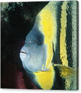 Portrait Of A Cortez Angelfish Canvas Print