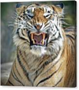 Portrait Of A Growling Tiger  Canvas Print
