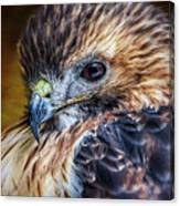 Portrait Of A Red-tailed Hawk Canvas Print