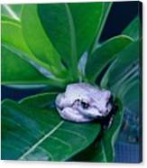 Portrait Of A Tree Frog Canvas Print
