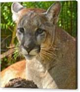 Portrait Of A Young Florida Panther Canvas Print