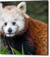 Portrait Of Cini The Red Panda Canvas Print