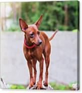 Portrait Of Red Miniature Pinscher Dog Canvas Print