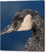 Portrait Of Young Canada Goose Canvas Print