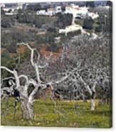 Portuguese Almond Plantation Canvas Print