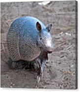 Posing Armadillo Canvas Print