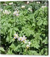 Potato Flower Agriculture Spring Scene Canvas Print