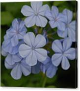 Powder Blue Flowers Canvas Print