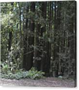 pr 137 - Big Trees Canvas Print