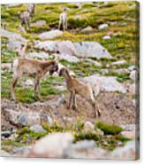 Practicing Baby Bighorn Sheep On Mount Evans Colorado Canvas Print