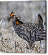 Prairie Chicken Ll Canvas Print