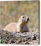 Prairie Dog  9255 Canvas Print