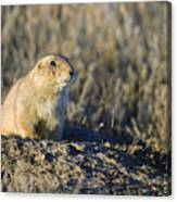 Prairie Dog Watchful Eye Canvas Print