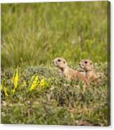 Prairie Dogs On Lookout Canvas Print