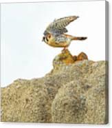 Prairie Falcon Canvas Print