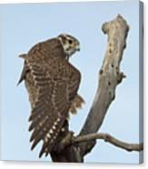 Prairie Falcon Stretching Canvas Print