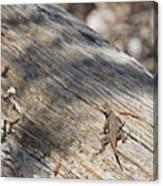 Prairie Lizard _ 1a Canvas Print