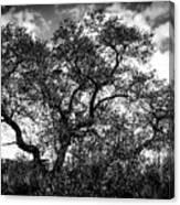 Prairie Oak Canvas Print