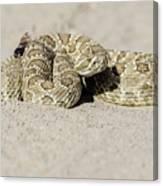 Prairie Rattlesnake  Canvas Print